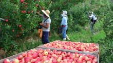 Tem vaga: 5 mil indígenas de MS são recrutados para colheita de maçã no RS e SC