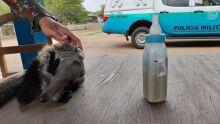 Filhote de tamanduá é resgatado e mãe morre atropelada