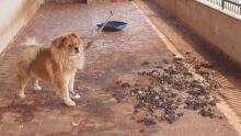 Mulher deixa cão chow chow à mingua e leva multa de R$ 3 mil em Costa Rica
