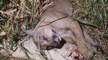 Onça-parda morre após ser atropelada na BR-060