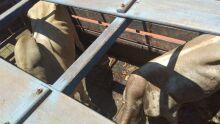 Polícia Civil recupera touros furtados em Nova Andradina