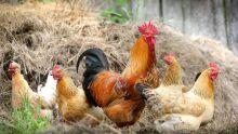 Nada escapa: ladrões furtam dez frangos de corte em Aquidauana