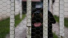 Dono de cão que matou criança pode ser punido por homicídio, mas pena é pra 'inglês ver'