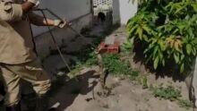 OLHA A COBRA: jiboia é capturada em árvore em Corumbá