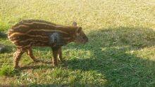 Filhote de anta atacado por cães perto de fazenda é resgatado pela PMA