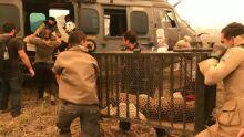 Queimadas: filhote de onça-pintada é resgatado no Pantanal por helicóptero da Marinha