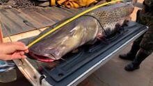 Peixe de 1,5 m e 40 Kg é apreendido em força-tarefa no Rio Ivinhema
