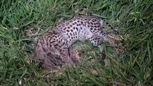 Jaguatirica é encontrada morta em Dourados