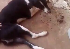 Cachorro que tomou vacina contra raiva e parou de andar é sacrificado