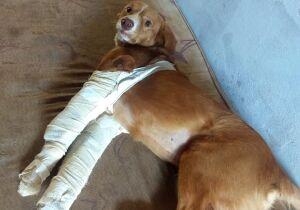 Família socorre cachorro atropelado e pede ajuda pra cirurgia de Caramelo