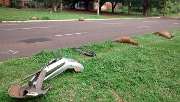 'Fujão' abandona quatro capivaras mortas no Aero Rancho