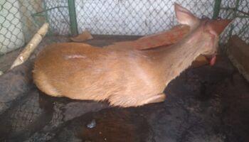 Após ser atropelado e ficar ferido na margem de rodovia, filhote de cervo é resgatado pela PMA