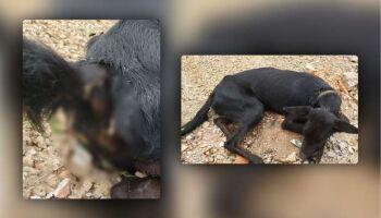 Dono de chácara preso por acorrentar cachorro paga fiança e está em liberdade