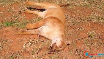 Onça-parda morre após ser atropelada em rodovia