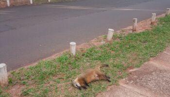 Sem sinalização específica, atropelamento de animais silvestres vira rotina no Parque dos Poderes