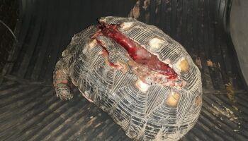 Jabuti é resgatado com casco dilacerado por atropelamento em Bonito
