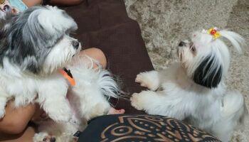 Cachorrinhos são furtados no Tiradentes e dona chora: 'doloroso não ter vocês em casa'