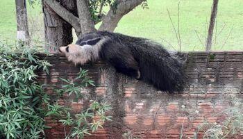 Mais um: tamanduá-bandeira é capturado em cima do muro de clube em Amambai