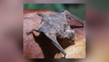 Alerta para morcegos transmitindo raiva em MS