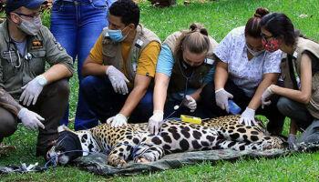 Recuperada: onça queimada em incêndio vai voltar para o Pantanal