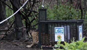 Linda: onça queimada em incêndio já está no Pantanal e agora é monitorada