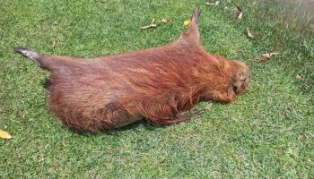 Capivara é encontrada morta em Três Lagoas