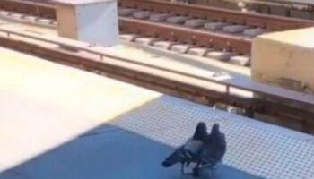Vídeo: dois pombos se juntam e derrubam o 'colega' em trilhos do metrô