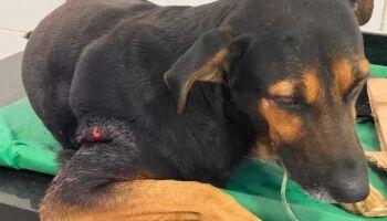 Cão Boby é torturado sem dó e grupo faz vaquinha por tratamento