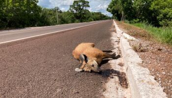Atropelamento de animais em rodovias gera pedido de intervenção em obras de MS