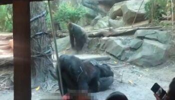 Vídeo: casal de gorilas faz sexo oral e choca visitantes de zoológico em Nova Iorque
