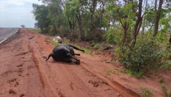 Porcão! Fazendeiro descarta gado morto em estada de Paraíso das Águas