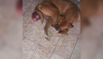 Para salvar cadela com cisto, mulher faz campanha na internet e oferece até faxina