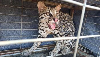 Fazendo o quê meu Deus? PMA captura jaguatirica no centro de Campo Grande