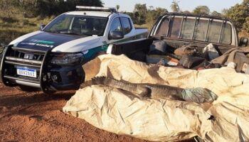 Homem mata jacaré de 2,5 metros a pauladas e é flagrado pela PMA