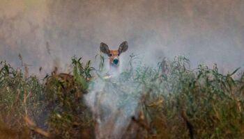 Fotógrafo registra fuga de animais e destruição das queimadas no Pantanal