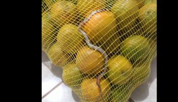 Mulher encontra cobra em saco de laranja comprado em rede atacadista