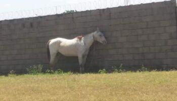 Cavalo é amarrado e deixado embaixo de sol quente em Três Lagoas
