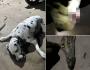 Cachorro se sacrifica para salvar donos de ataque de cobra venenosa