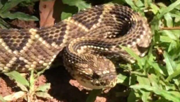 PMA captura cobra cascavel de cerca de 1,5 metro no quintal de loja