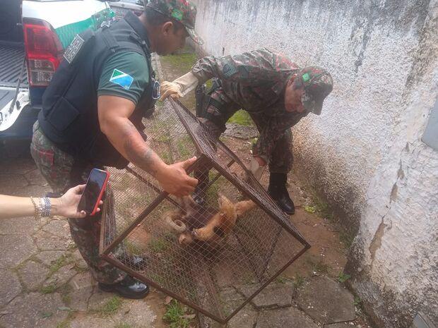 Tamanduá-mirim ferido é capturado na região central de Bela Vista