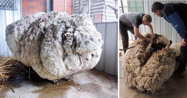 Ovelha com 35 kg de lã é resgatada doente de floresta