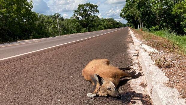 ONGs alertam MPE: sem prevenção, obras em rodovias vão gerar massacre de animais em MS