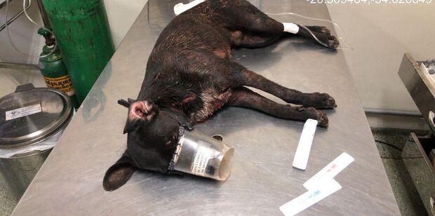 Pitbull ataca dois cachorros no Jardim Centro-Oeste e dono é multado