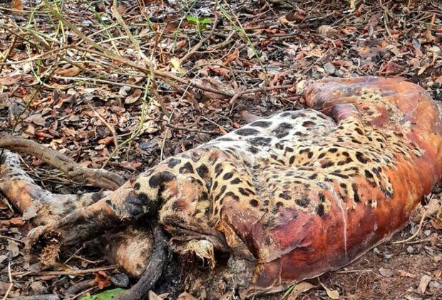 Onça monitorada morre em Corumbá; suspeita é envenenamento