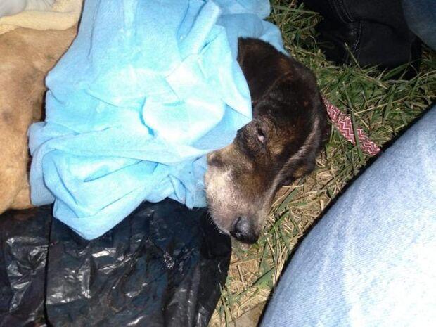 Covardia: cachorro tem órgão genital mutilado por homem em MS