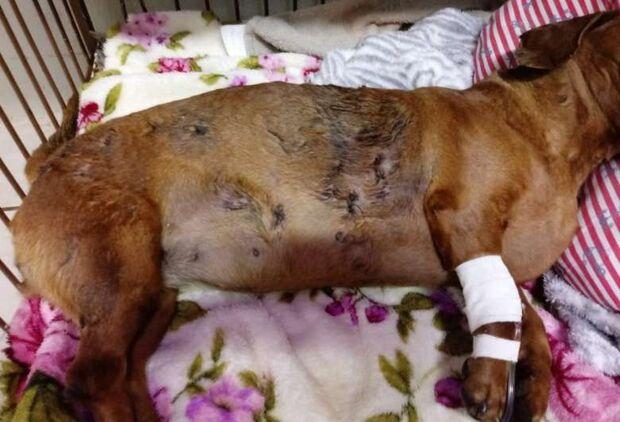 Polícia descobre dono de pitbulls 'devoradores de cães' em Três Lagoas
