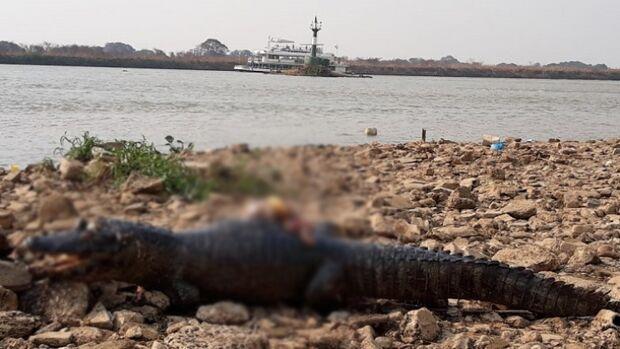 Jacarés mortos são encontrados no Porto Geral de Corumbá