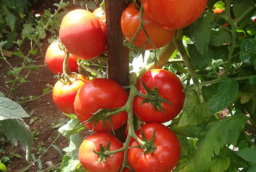Embrapa lança tomate com maior rendimento e resistência a fungos e geminivírus