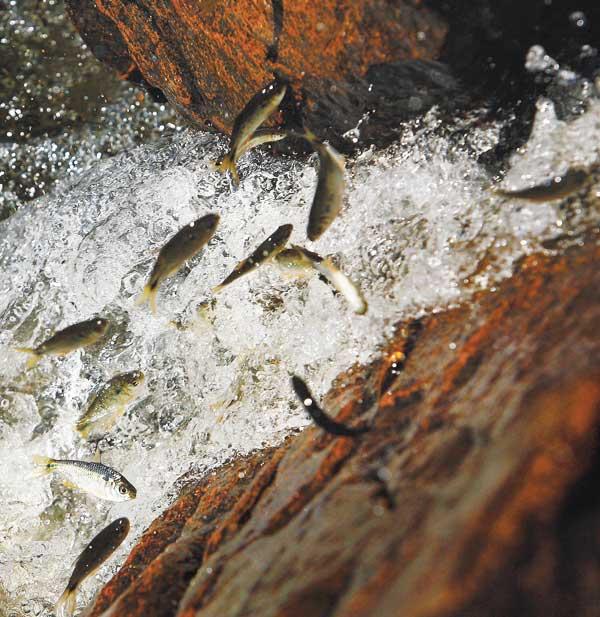 Piracema entre em vigor a partir do dia 5 de novembro em todos os rios de MS