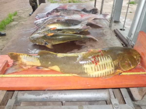 PMA apreende 291kg de pescado durante piracema
